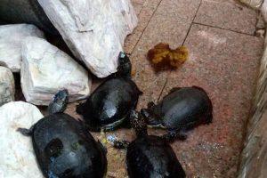 28 de țestoase, confiscate de Garda de Mediu de la un restaurant din Timișoara
