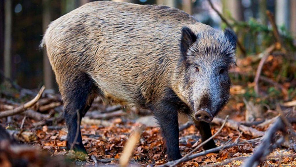 Încă un focar de pestă porcină africană descoperit în județ