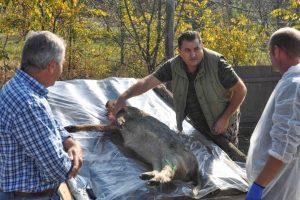 A fost confirmată pestă porcină africană la mistreți, în Timiș