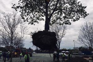 Copacii valoroși de pe Bogdăneștilor vor fi mutați/ FOTO