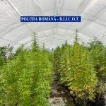 Timișean care cultiva cannabis într-un solar, cercetat pentru trafic de droguri de risc